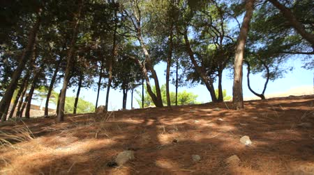 geniş açılı : Walking through the pine forest on a sunny day Stok Video