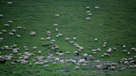 cordeiro : Sheep in Mountains Summer View