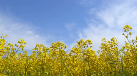 homeopatia : Beautiful plants canola field moving in the wind