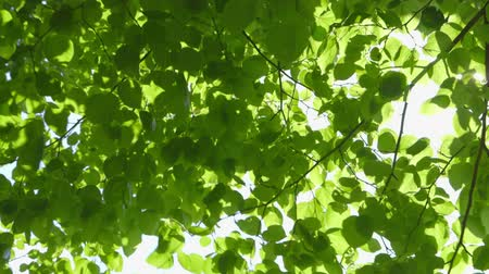 folhas : Beautiful fresh green leaves against the sun moving in the wind with sunbeams