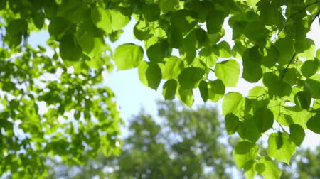 springtime : Beautiful fresh green leaves against the sun change of sharpness