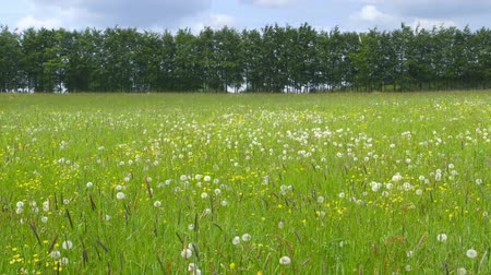 alerji : Beautiful Spring Meadow with Wildflowers Stok Video