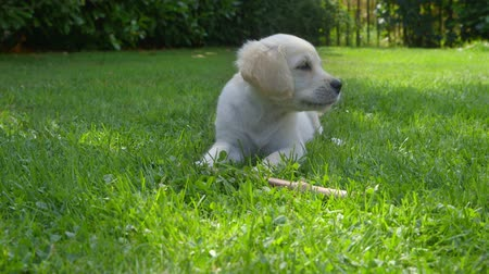 щенок : Cute Golden Retriever Puppy is lying in the Garden and then jumping away