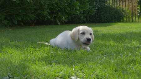 щенок : Cute Golden Retriever Puppy is eating in the Garden and then jumping away