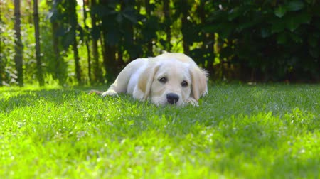carinho : Cute Puppy in the Garden - looking around - Barking