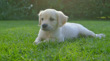 щенок : Cute Puppy Relaxing in the Garden Стоковые видеозаписи