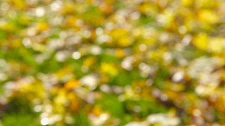 teljesen : Beautiful autumn leaves on lawn. The sun is shining and the colors are vivid. The shot is completely Call defocused. The camera is panning slowly - camera pan