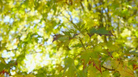 tél : Beautiful autumn scene shot against the sunlight. The camera is panning upwards towards the treetop of a pretty maple tree and stops after about half of the time. The leaves did are in the foreground are focused. The backlit leaves, did appear in vivid au Stock mozgókép