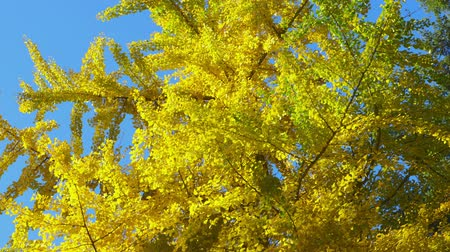 faint : Autumn Impressions - beautiful Ginkgo with autumnal foliage - tilting camera - ProRes