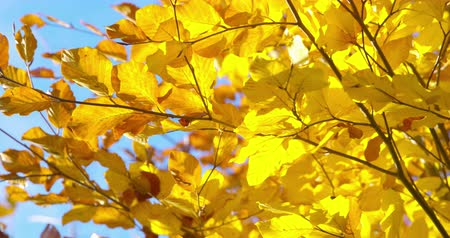 faint : Autumn Impressions - beautiful tree with lush autumn leaves - tilting and panning camera - ProRes