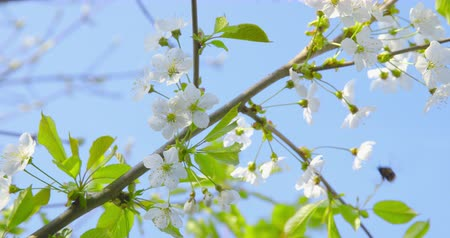 color surge : Springtime impressions - beautiful flowers and foliage of a cherry and a bumblebee Stock Footage