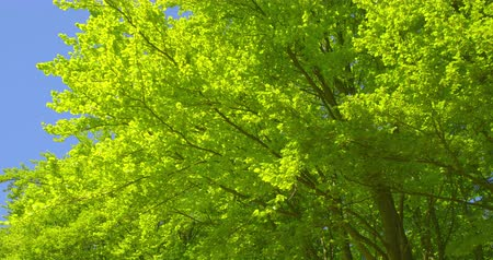 natural resource : Springtime impressions - beautiful beech trees against a blue sky