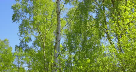 bulutsuz : Springtime impressions - beautiful birch trees against a blue sky.