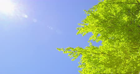 gust of wind : Springtime impressions - a beautiful beech tree against a blue sky.