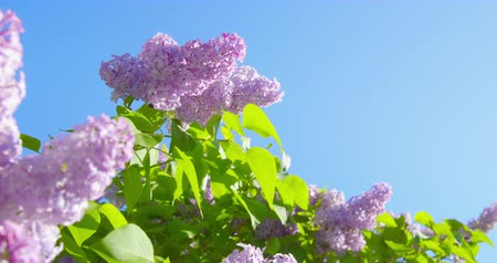 natural resource : Springtime impressions - beautiful flowers and leaves of a purple bush .