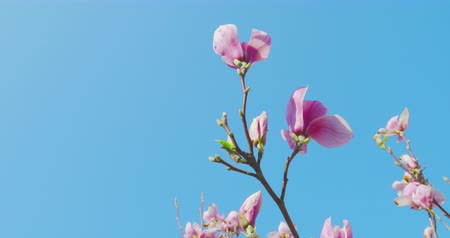отдыха : Springtime impressions - beautiful magnolia flowers against a blue sky - camera pan - ProRes