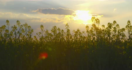 Beautiful blooming field of rapeseed, shot against the sun - camera pan - ProRes Vídeos
