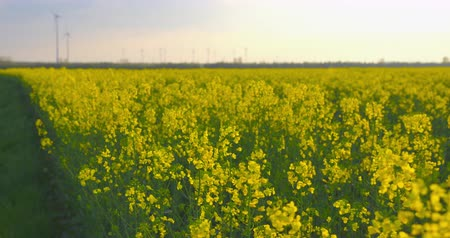Beautiful field of blooming rapeseed plants in front of a wind farm - ProRes