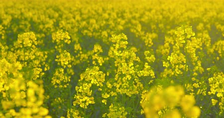 Beautiful rapeseed plants - camera pan - ProRes Stock mozgókép