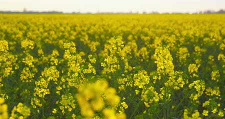 Beautiful field of rapeseed - camera pan - ProRes