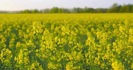 низкий : Beautiful field of rapeseed - ProRes