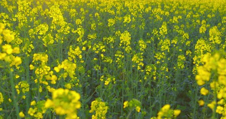 canola : Beautiful blooming rapeseed plants, shot before sunset - camera pan - ProRes