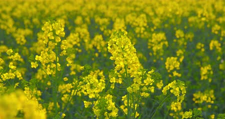 Beautiful blooming rapeseed plants - ProRes