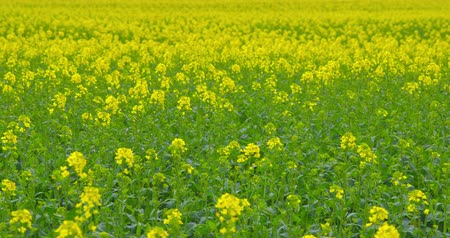 A field of beautiful blooming rapeseed plants - camera pan - ProRes