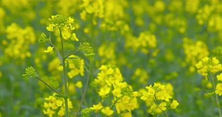 Beautiful blooming rapeseed plants - close-up - ProRes