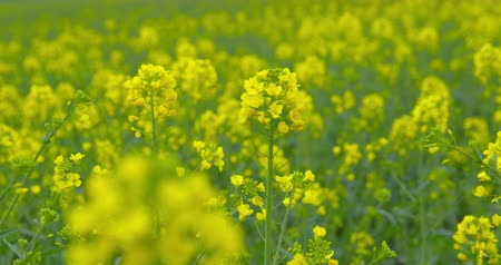Beautiful blooming rapeseed plants - sequence - ProRes Стоковые видеозаписи
