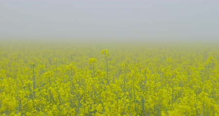 profundidade de campo rasa : A field of beautiful blooming rapeseed plants, shot on a morning fog - camera pan - ProRes Stock Footage