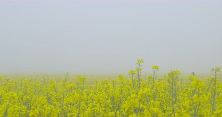 A beautiful field of blooming rapeseed on a morning fog - camera pan - ProRes