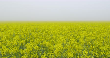 When the fog goes away - a field of beautiful blooming rapeseed plants, shot on a morning fog - camera pan - ProRes