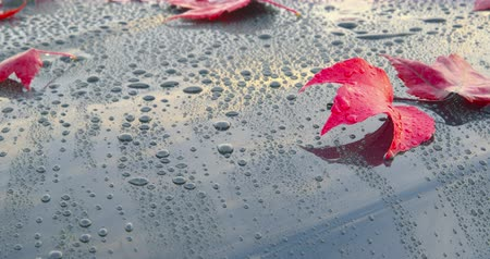 After an autumn rain - beautiful autumn leaves lying on a polished car - camera pan - ProRes