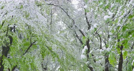 de faia : The sudden return of winter - snowy trees on a spring day - sequence - ProRes Vídeos