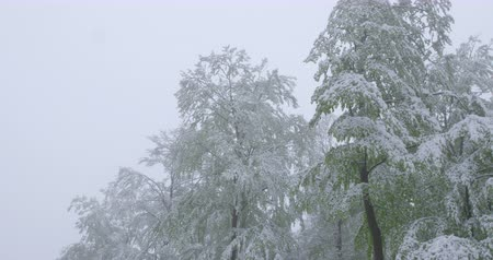 A snowy spring day in May - snowy beech trees with green foliage - camera pan - ProRes Vídeos