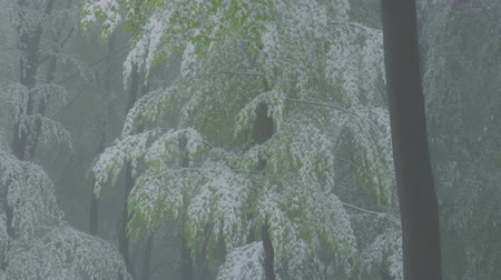 jelenség : A sudden return of winter on a foggy spring day in May - snowy beech trees with fresh green foliage - tilting camera - ProRes Stock mozgókép