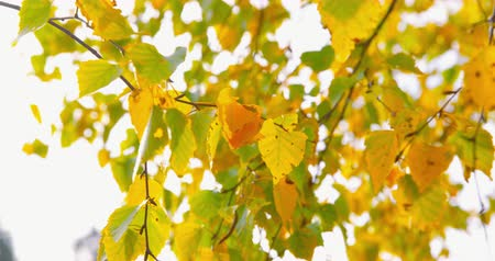Autumn Impressions - beautiful autumnal leaves of birch trees - camera pan - ProRes