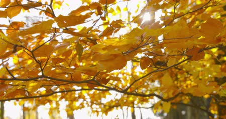 Autumn Impressions - beautiful backlit autumn leaves of a beech tree are swaying in the wind - camera pan - ProRes Stock mozgókép