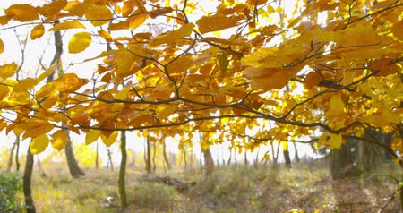 Autumn Impressions - beautiful backlit autumn leaves of a beech tree are swaying in the wind - camera pan - ProRes Vídeos