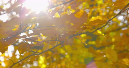 Autumn Impressions - beautiful autumn leaves of a beech tree on a windy day - ProRes Vídeos