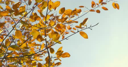 Autumn Impressions - beautiful backlit autumn leaves of a pear tree - ProRes