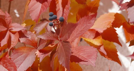 Autumn Impressions - Virginia creeper - ProRes