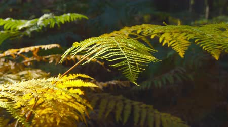 Autumn Impressions - beautiful autumnal fern in the sunlight - camera pan - ProRes