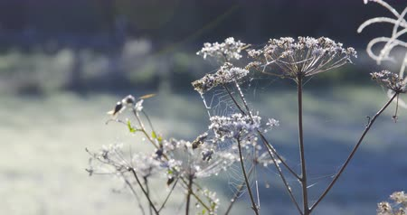 Autumn Impressions - beautifully hoarfrost-covered meadow plants on a cold autumn morning - ProRes