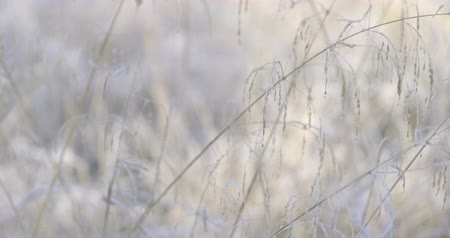 Autumn Impressions - beautiful hoarfrost-covered grass on a cold autumn morning - ProRes