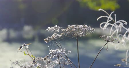 szron : Autumn Impressions Sequence - Beautiful hoarfrost-covered plants on a cold autumn morning - Sequence - ProRes Wideo