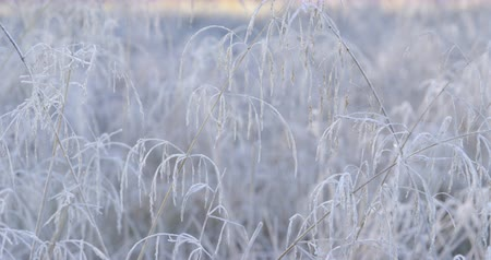 profundidade de campo rasa : Autumn Impressions - beautiful hoar-frosted grass on a cold morning morning - camera pan - ProRes