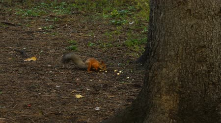 sciurus vulgaris : footage squirrel runs along the ground in the park. HD 120 fps. Stock Footage