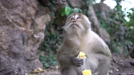 portrait of a monkey close-up outdoors. Stock Footage